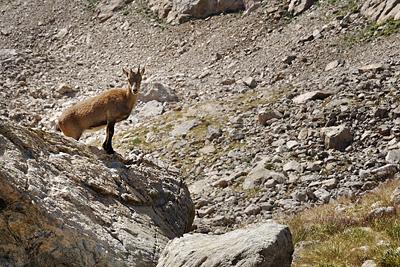 photo montagne alpes randonnée GR5 GR52 mercantour baisse basto bouquetin