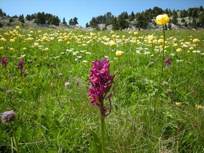 photo montagne alpes randonnée Vercors Grand Veymont fleurs