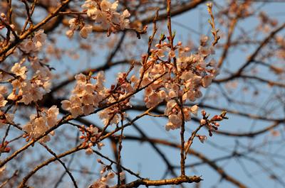 japon cerisier fleurs sakura cherry blossoms