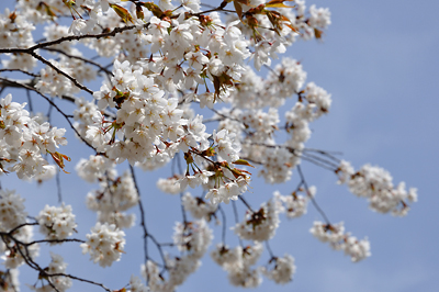 japon matsushima cerisier fleurs sakura cherry blossoms