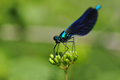 photo proxy proxyphotographie macro macrophotographie insecte agrion