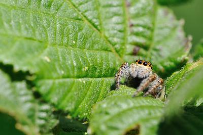 photo proxy proxyphotographie macro macrophotographie insecte araignee sauteuse saltique