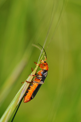 photo proxy proxyphotographie macro macrophotographie insecte cantharide le moine