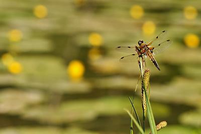 photo proxy proxyphotographie macro macrophotographie insecte libellule