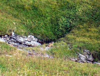 photo montagne alpes randonnée cormet de roselend marmotte