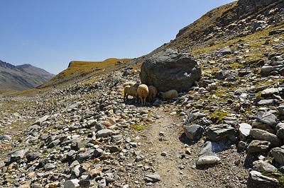 photo montagne alpes randonnée tour des glaciers vanoise TGV moutons